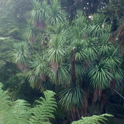 Cordylines are exotic plants that will grow anywhere.