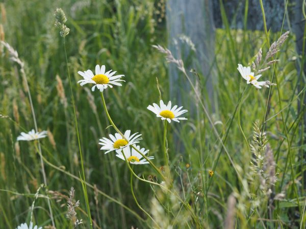 Plug plants combine with self-seeded wild flowers to create a mini meadow