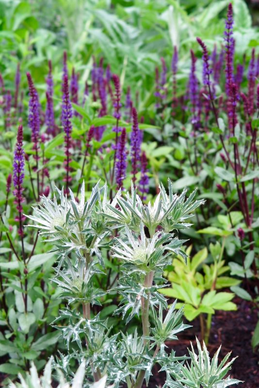 Drifts of salvias and eryngium