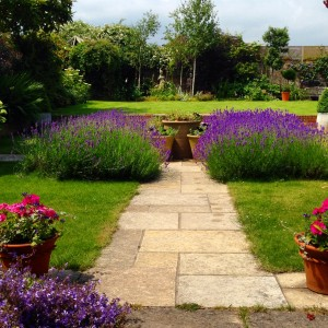 middle of garden lavender