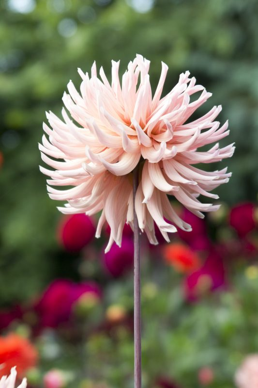 Don't dig up dahlias - Henriette has survived three years without being dug up.