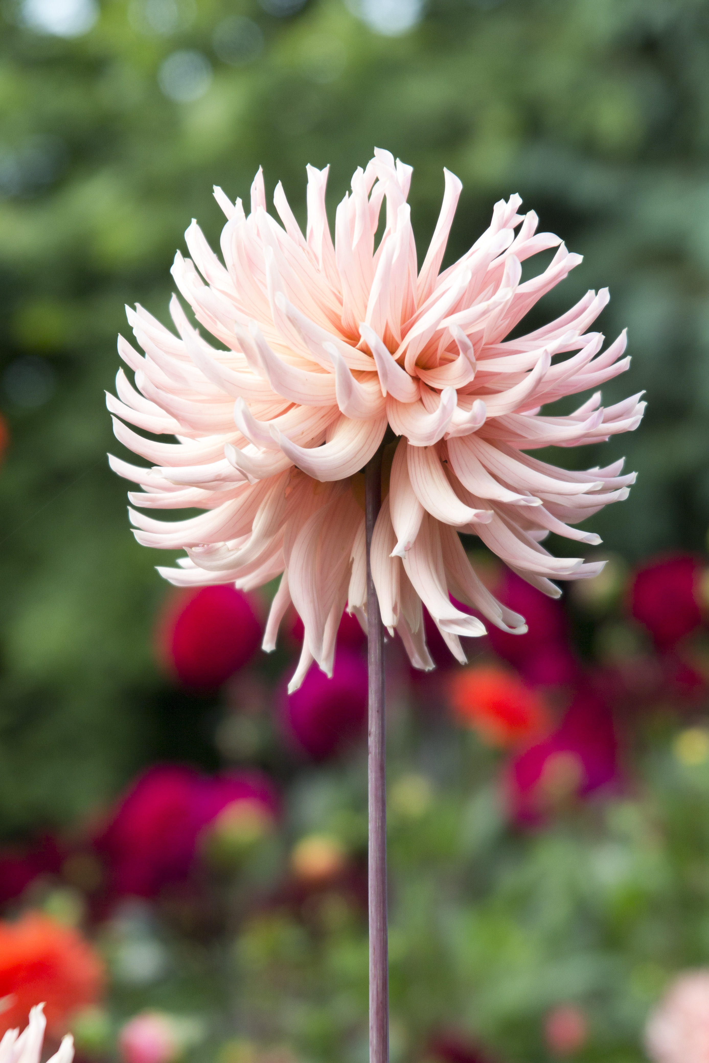 Don T Dig Up Dahlias For Winter What To Do Instead