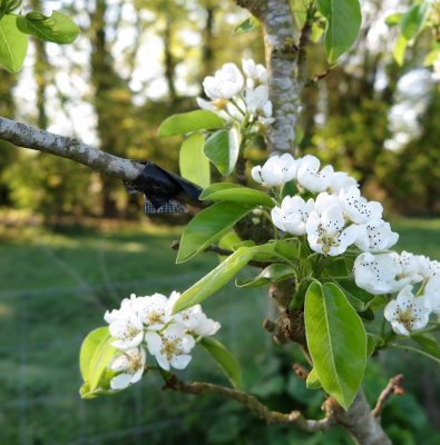 Pear blossom in spring