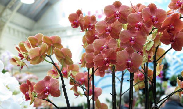 Phalaenopsis 'Surf Song'