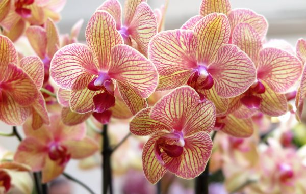 Phalaenopsis orchids are perfect for centrally heated homes