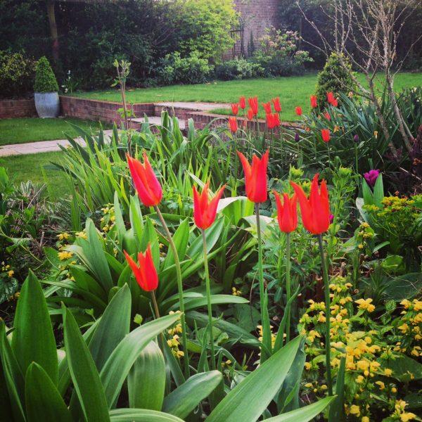 Ballerina tulips with lamium
