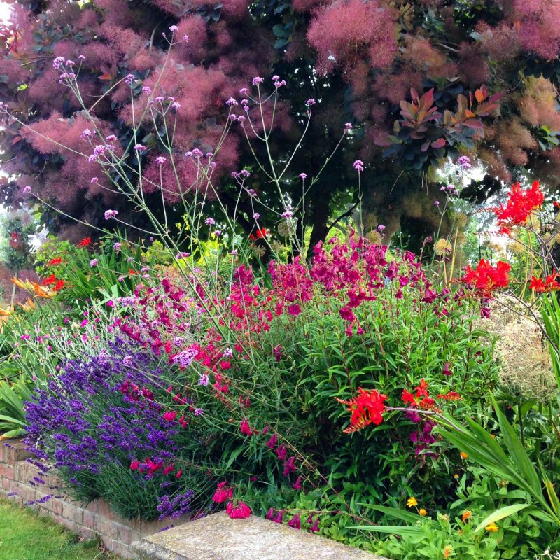 Penstemons and crocosmia