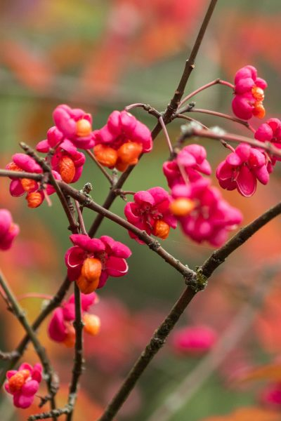 Euonymus Europeaus 'Red Cascade'