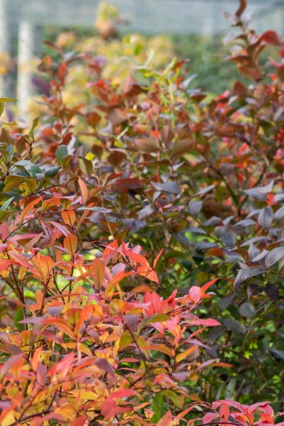 Blueberry bushes for autumn colour