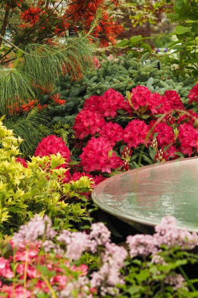 Choose a non-invasive rhododendron and buy from a specialist grower like Burncoose nurseries.