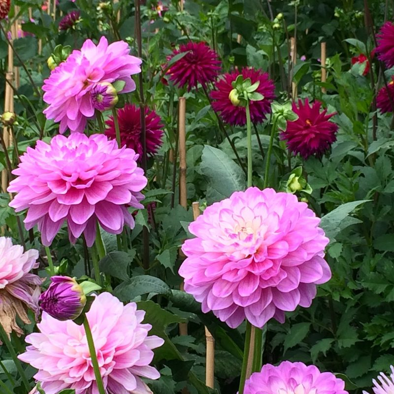 Tips for incorporating long lasting dahlias into your garden