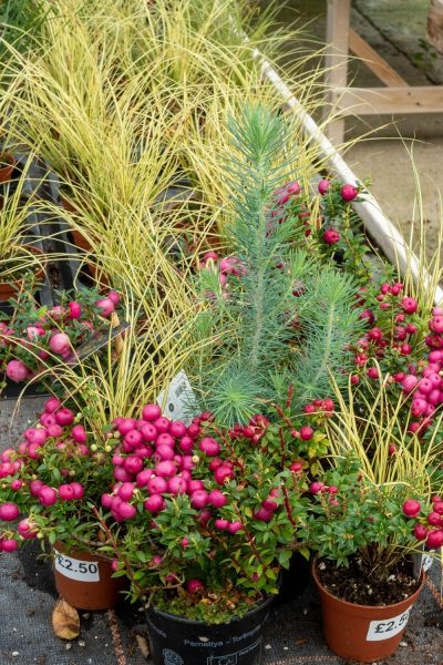 Pink, yellow and silver for winter pots