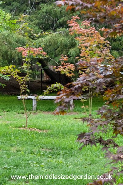 Maple grove in small garden