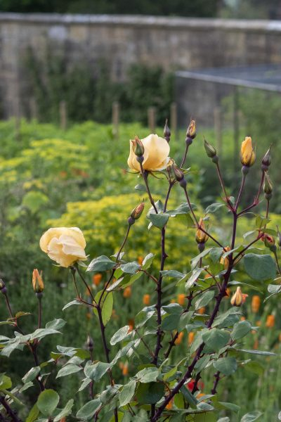 Roses for the hotel are grown in the kitchen garden