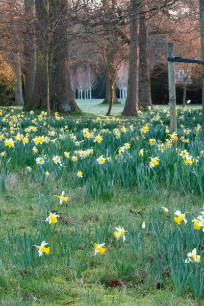 Daffodils in the lawn