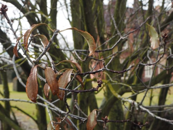 Pittosporum with winter damage