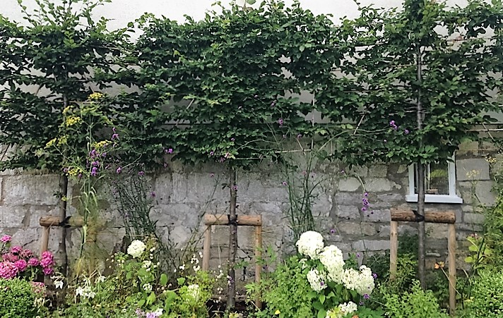 Hornbeam hedges for privacy