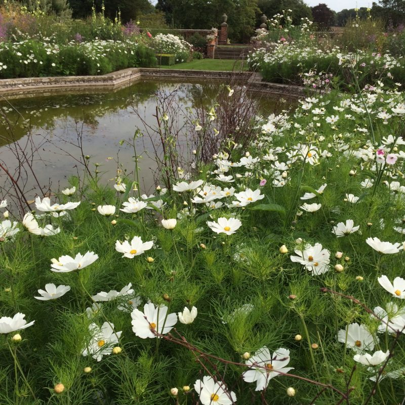 White cosmos at Doddington Place Gardens