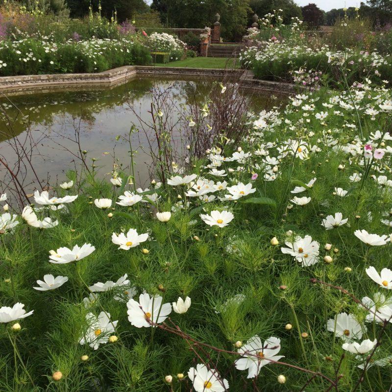 White cosmos at Doddington Place Gardens