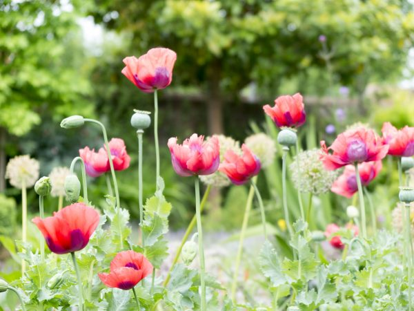 Poppies add colour in June