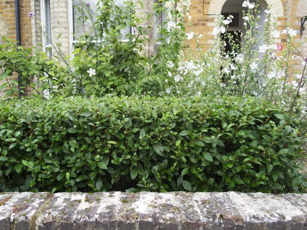 Hedges for front gardens
