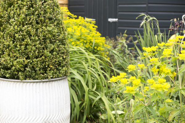 Evergreen plant ideas for garden pots