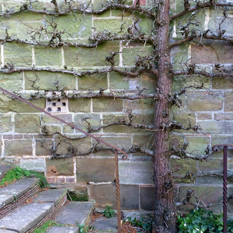 Espaliered pear tree looking smart at Great Dixter.