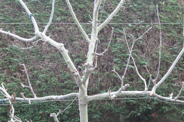 Prune cordon and espalier fruit trees in winter