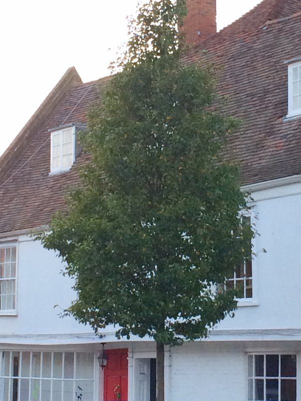Pyrus calleyrana 'Chanticleer' is the perfect tree for privacy from the street