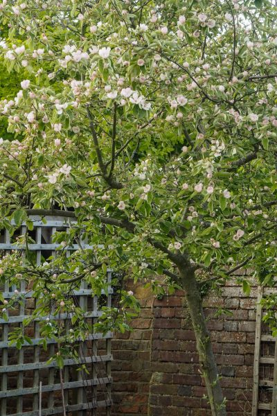 Quince trees are ideal for a small garden