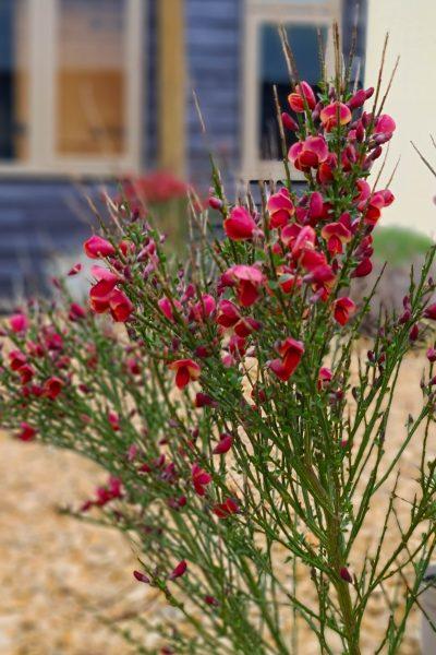 Ruby flowered broom