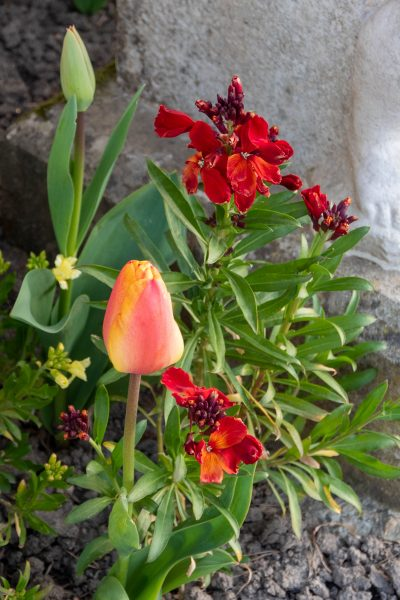 Naturalistic planting of tulips