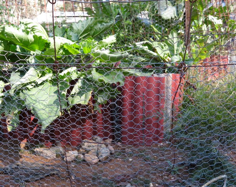 Rhubarb protected by chicken wire.