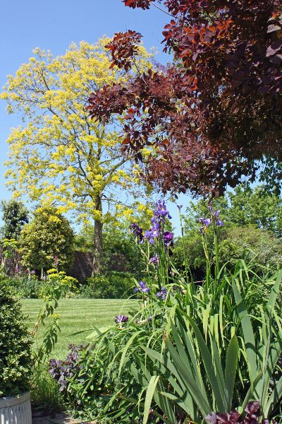 Robinia 'Frisia' - a beautiful garden tree
