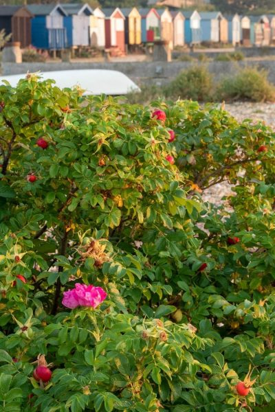 Rosa rugosa sobre Whitstable Beach