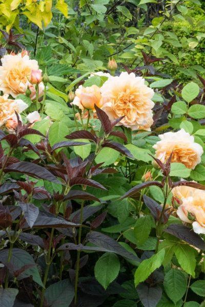 Use foliage colour to improve your garden colour schemes