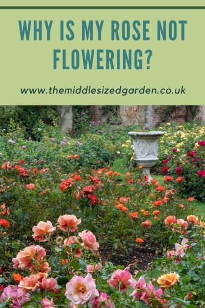 Growing roses tips and questions