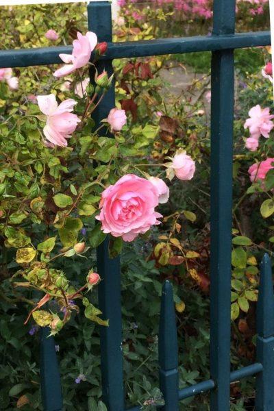 Rosa bonica to line a path