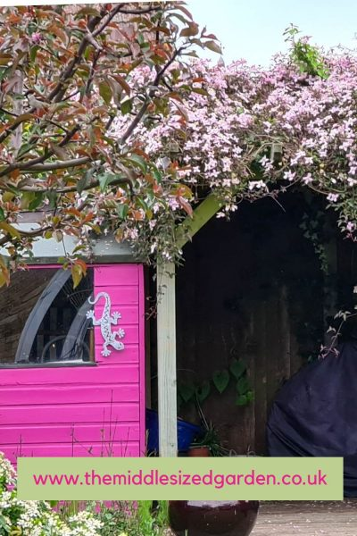 Pink clematis and pink garden shed