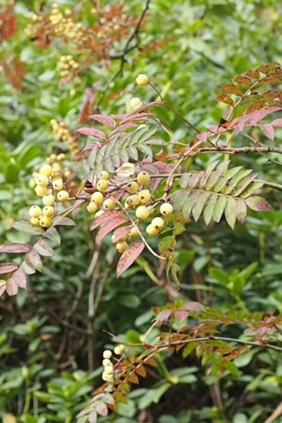 Sorbus or Mountain Ash