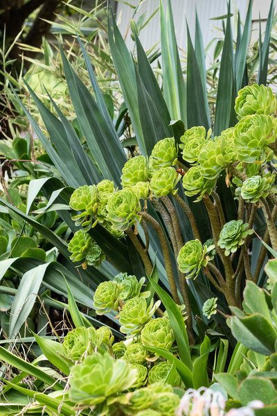 Contrasting shaped leaves with aeoniums and yucca