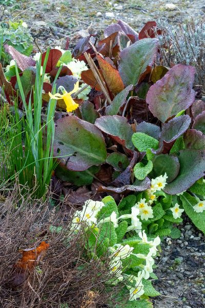 Bergenia, primroses and daffodils
