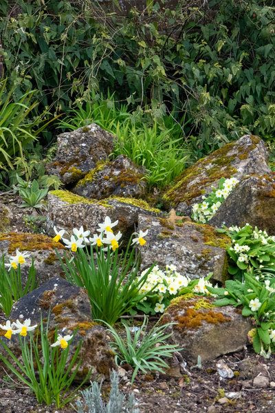 Daffodils in the Rock Garden