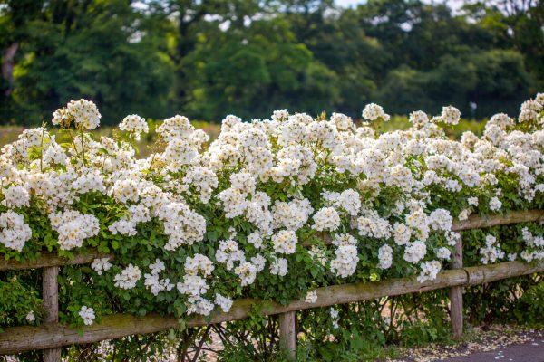 Kew Gardens rose from David Austin Roses