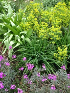 allium, erysimum Bowles Mauve and euphorbia