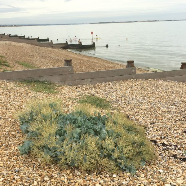 Sea kale on Joy Lane Beach, Whitstable