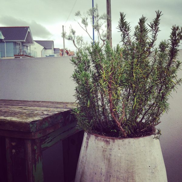 Rosemary in a pot at Jo-Jo's