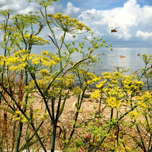 Yarrow at whitstable