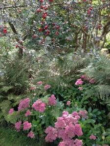 Rosa glauca and sedum at Vasterival