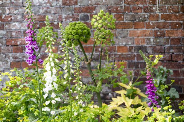 Three excellent self-seeders for shade - smyrnium perfoliatum, foxgloves and angelica archangelica